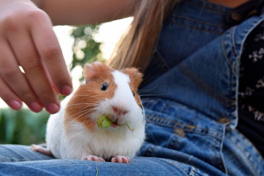 animaux-guinea-pig-1723957_1920